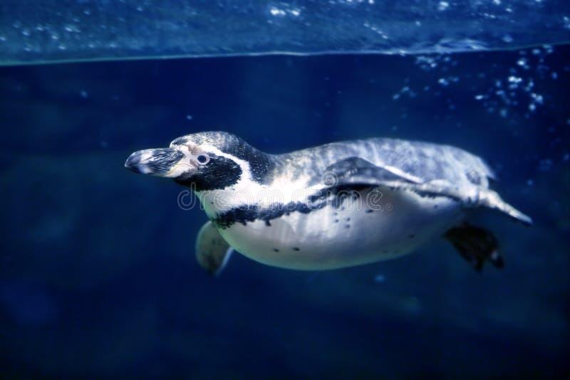 Natación subacuática azul del pingüino bajo surfa del agua imagen de archivo libre de regalías