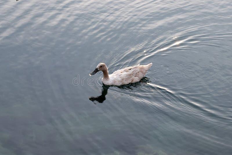 Nataci?n del pato en el agua foto de archivo libre de regalías