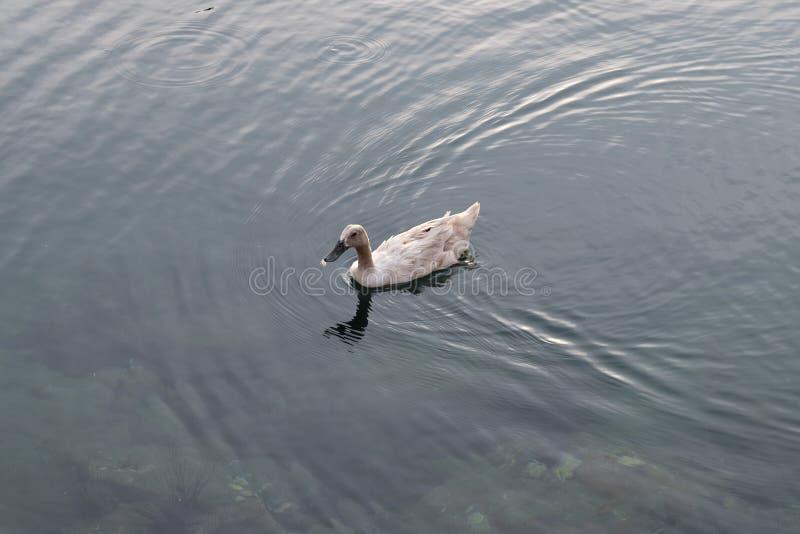 Nataci?n del pato en el agua fotografía de archivo libre de regalías