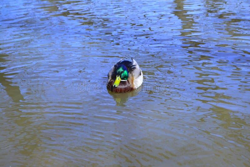 Nataci?n del pato en una charca con agua verde mientras que busca la comida fotografía de archivo