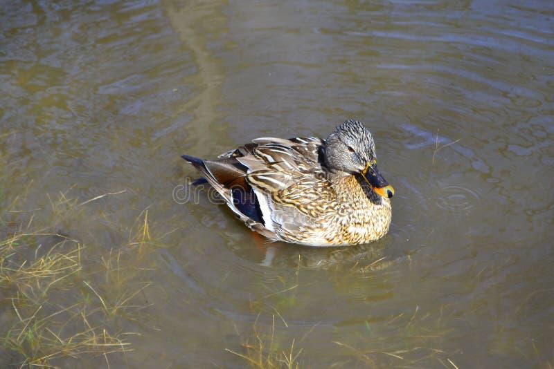 Nataci?n del pato en una charca con agua verde mientras que busca la comida imagenes de archivo