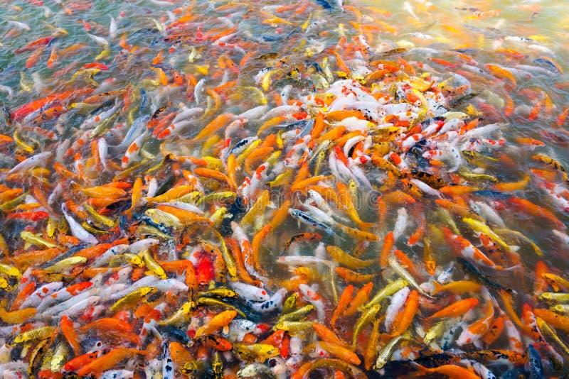 Nataci?n hermosa de los pescados del koi de la carpa en la charca en el jard?n imágenes de archivo libres de regalías