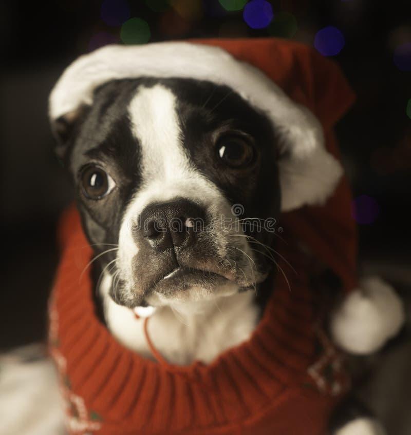 Natal Boston Terrier em Santa Hat foto de stock royalty free