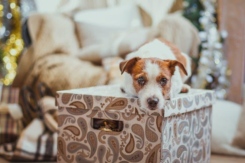 Natal do cão, ano novo, Jack Russell Terrier fotografia de stock