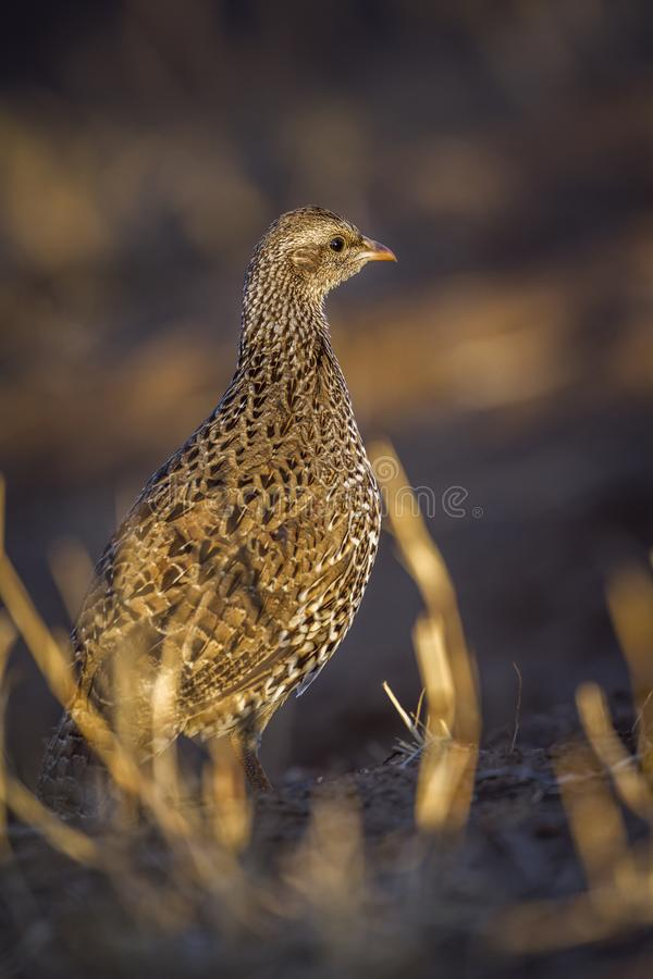 Natal francolin in Kruger National park, South Africa. Specie Pternistis natalensis family of Phasianidae royalty free stock photo