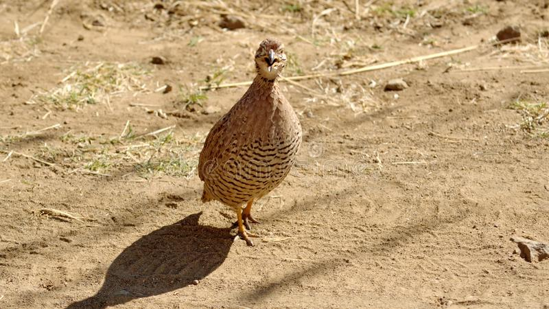 Natal francolin. Pternistis natalensis - on the ground in Pilanesberg National Park, North West Province, South Africa royalty free stock photography