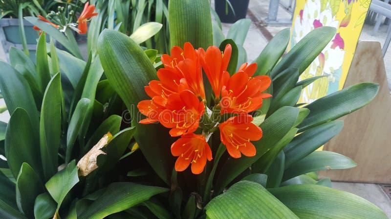 Natal Lily chez Hortus Botanicus photographie stock libre de droits