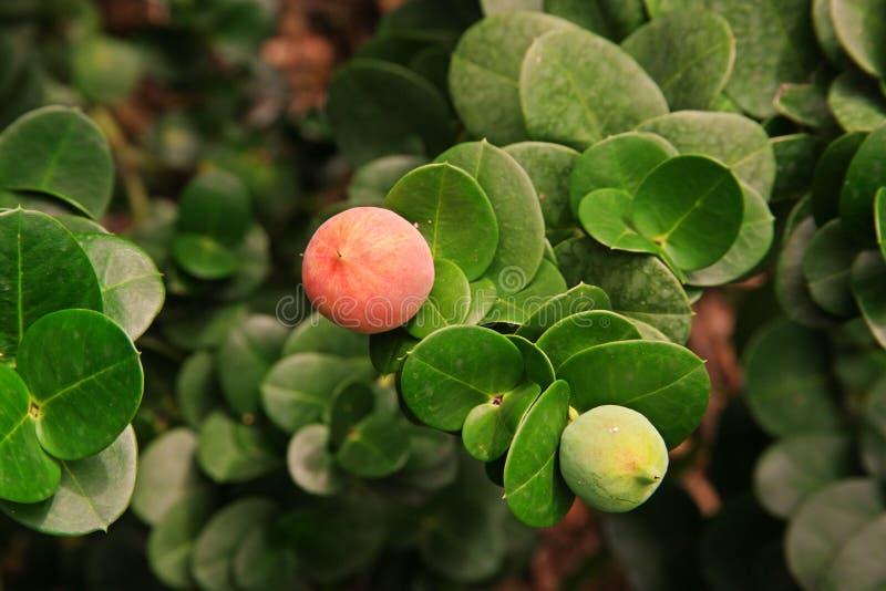 Natal Plum; arbusto indigeno del Sudafrica immagine stock