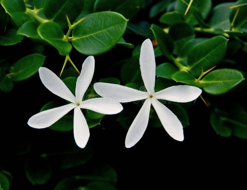 Natal Plum flowers stock photos