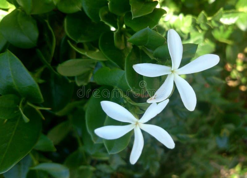 Natal plum, Large Num-num, Carissa macrocara royalty free stock photos