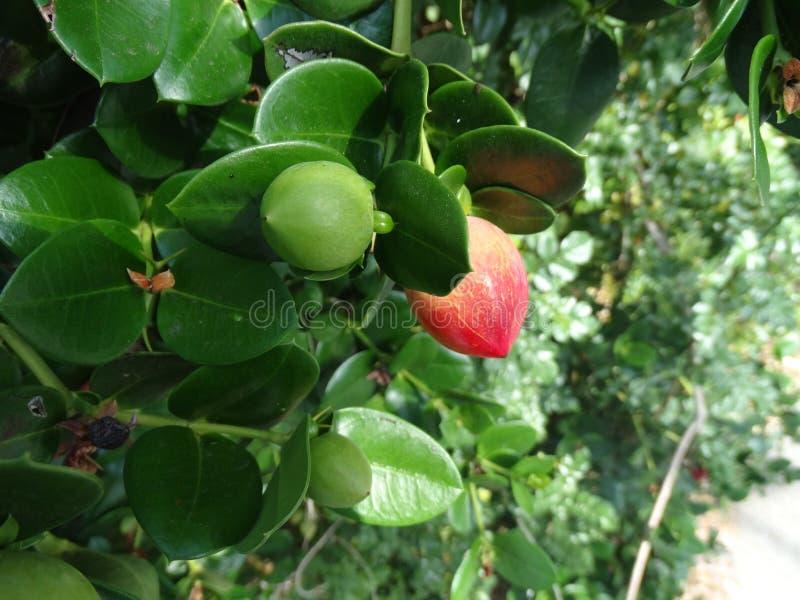 Natal plum, Large Num Num, Carissa macrocarpa royalty free stock image