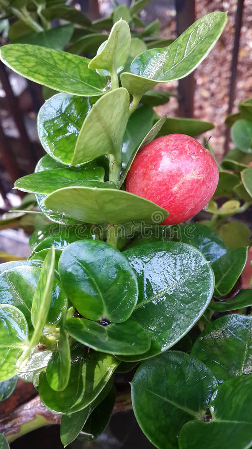 Natal plum royalty free stock image
