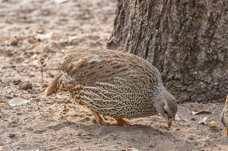 Natal Spurfowl looking for food. A Natal Spurfowl, Pternistis natalensis, looking for food royalty free stock images