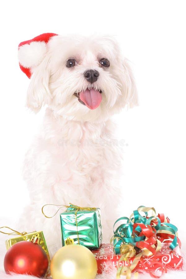 Download Natale maltese immagine stock. Immagine di adorable, regalo - 3884705