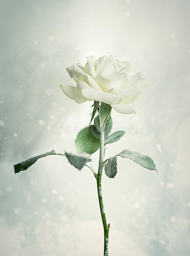 Natale Rose Frosted With Snow fotografie stock