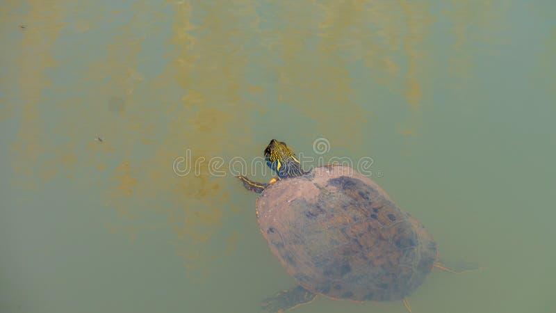 Natation à oreilles rouge de tortue de glisseur dans l'eau sombre avec la tête en surface photographie stock