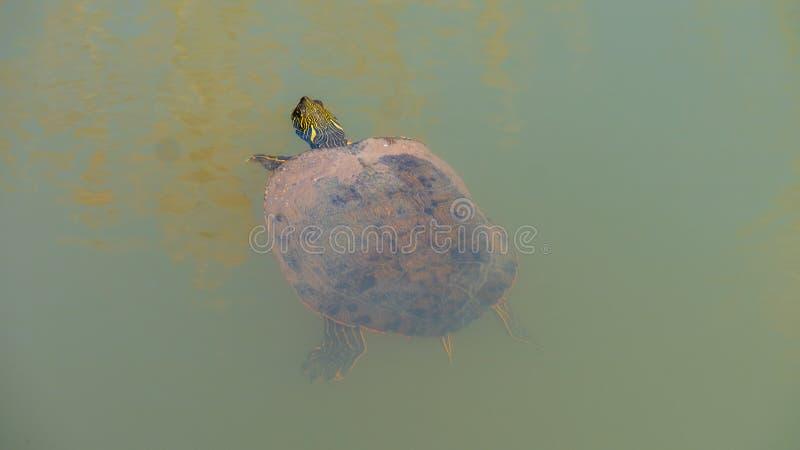 Natation à oreilles rouge de tortue de glisseur dans l'eau sombre avec la tête en surface photographie stock libre de droits
