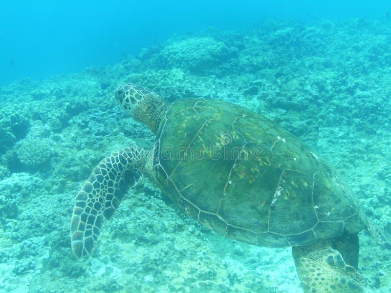 Natation étonnante de tortue de mer photographie stock libre de droits
