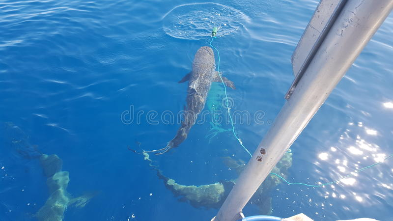 Natation avec des requins Honolulu Hawaï photos stock