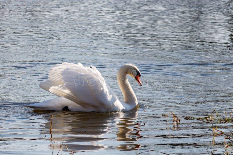 Natation blanche de cygne avec les ailes augmentées sur la rivière d'hiver images libres de droits
