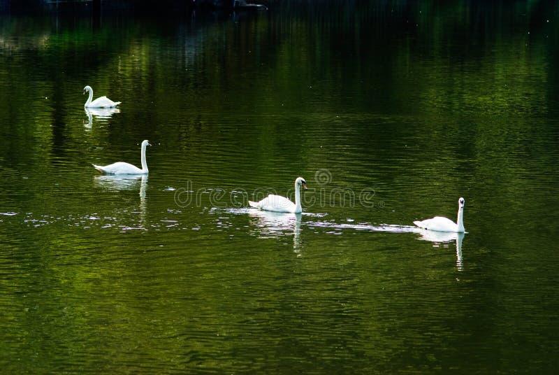 Natation blanche de cygne dans l'étang avec la réflexion verte de l'arbre image libre de droits