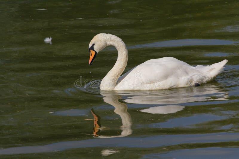 Natation blanche de cygne dans un étang d'été photo libre de droits