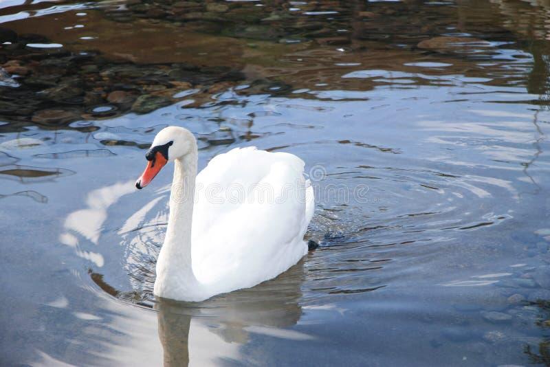 Natation blanche de cygne de neige dans l'étang et la réflexion du ciel bleu photos libres de droits