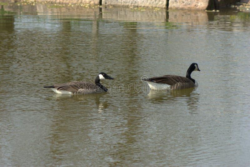 Natation canadienne de canadensis de Branta de deux oies sur un étang au printemps images libres de droits