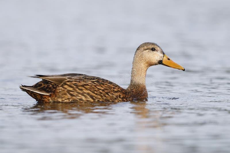 Natation chinée de canard dans une lagune - le comté de Pinellas, la Floride image libre de droits