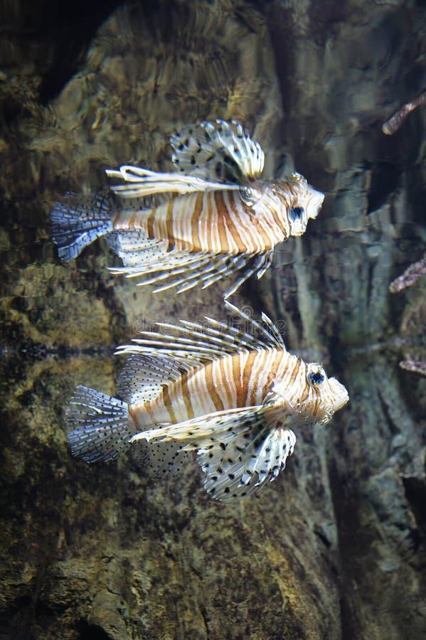 Natation commune de lionfish dans l'eau images stock