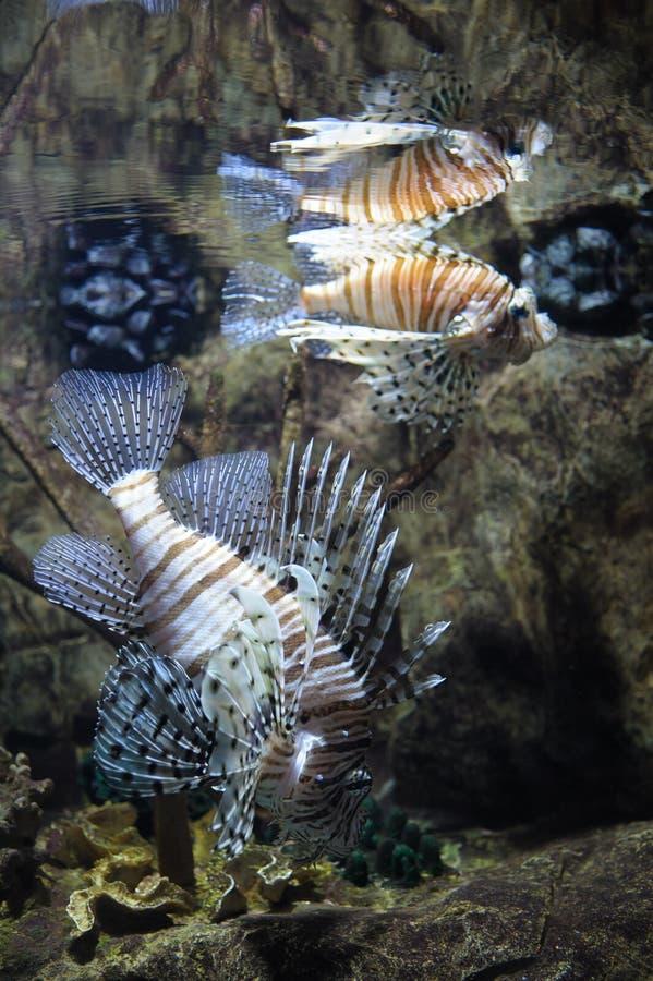 Natation commune de lionfish images stock