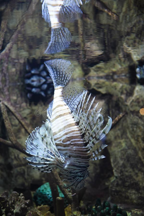 Natation commune de lionfish photos libres de droits