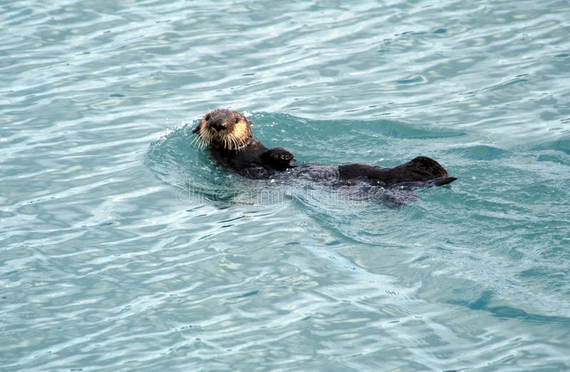 Natation d'Alaska de loutre de mer photographie stock