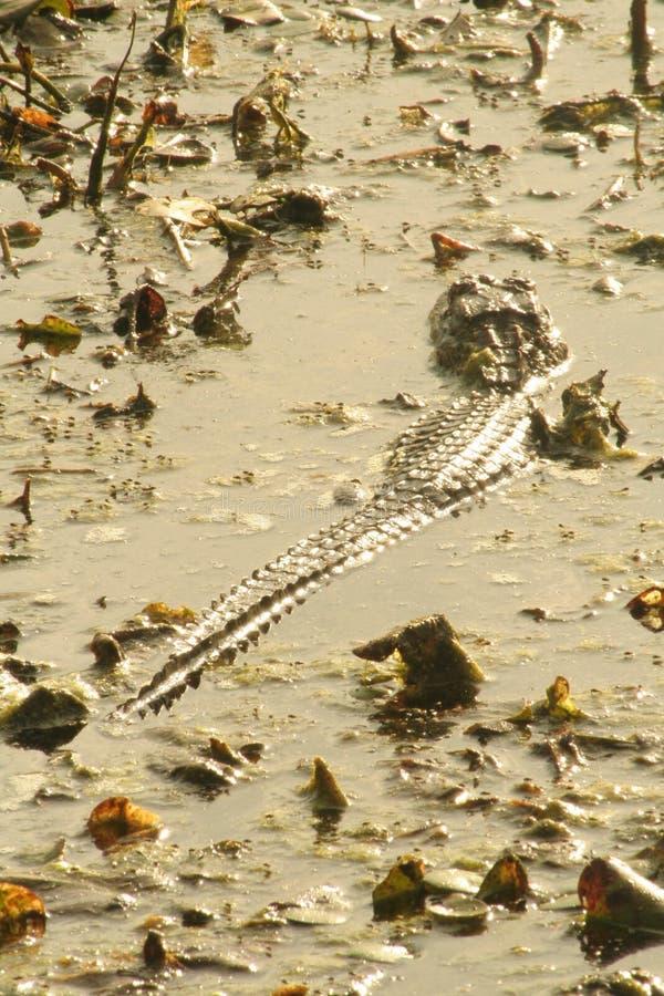 Natation d'alligator américain photos libres de droits