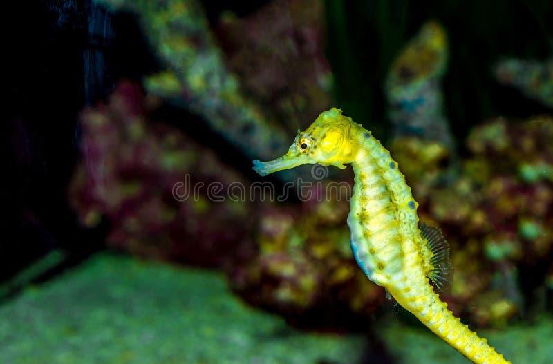Natation d'hippocampe dans l'eau - hippocampe photo stock