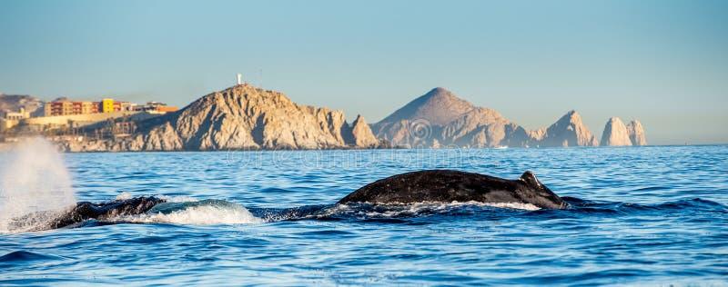 Natation de baleine de bosse dans l'oc?an pacifique De retour de la baleine sur la surface de l'oc?an Plong?e dans le profond photo stock