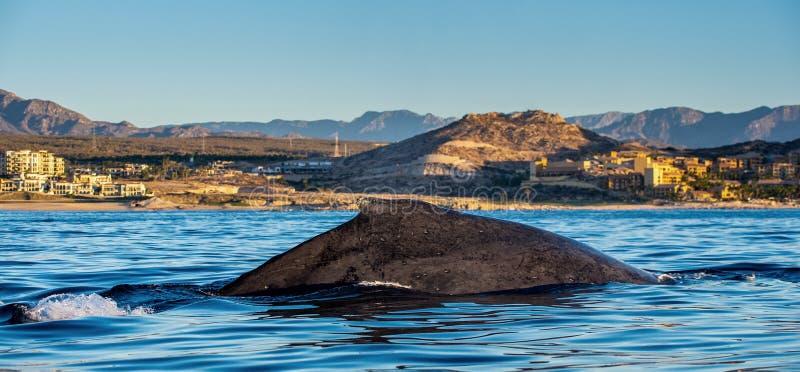 Natation de baleine de bosse dans l'oc?an pacifique De retour de la baleine sur la surface de l'oc?an Plong?e dans le profond images libres de droits