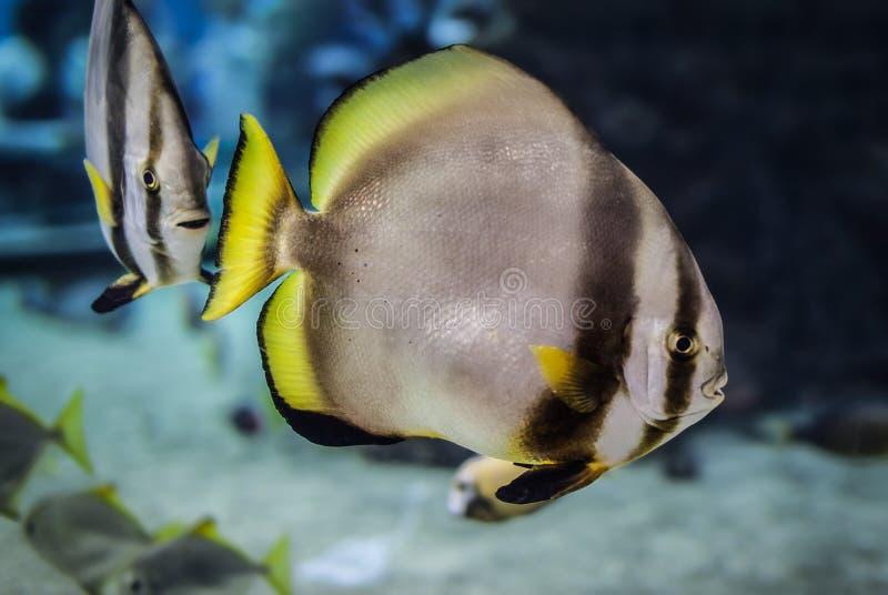 Natation de Batfish photos stock