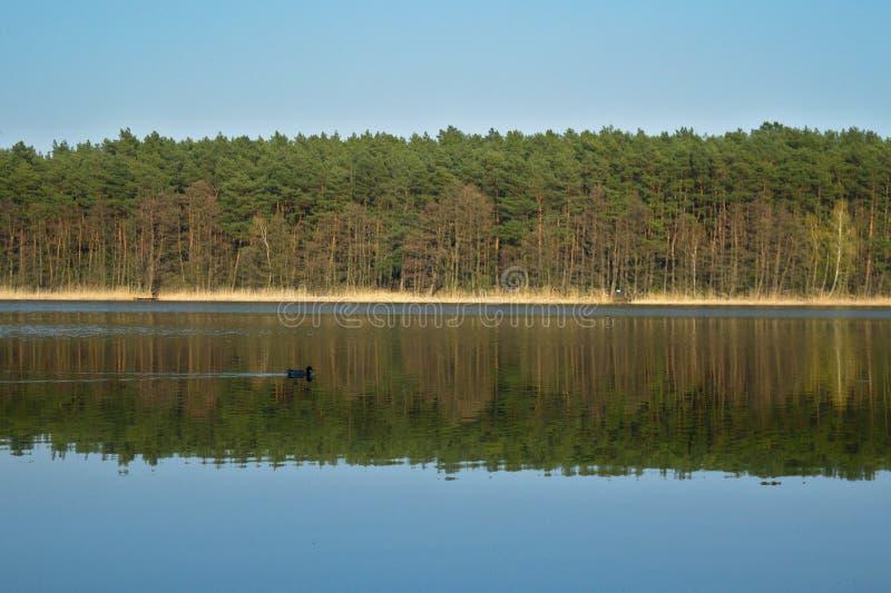Natation de canard à travers la réflexion de la forêt photo libre de droits