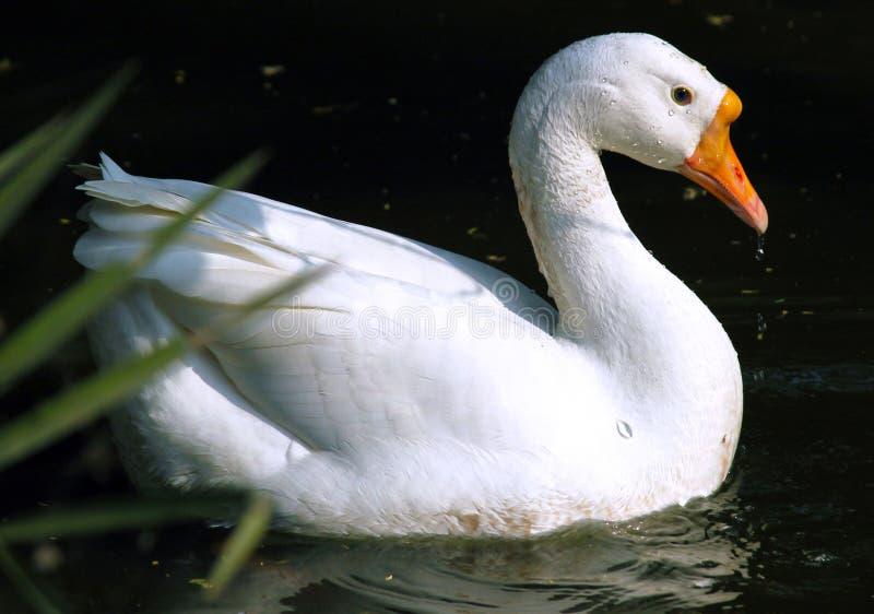 Natation de canard dans l'eau image libre de droits