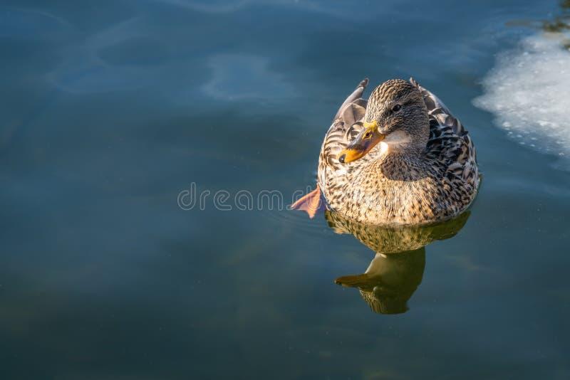 Natation de canard dans un étang froid d'hiver photographie stock libre de droits
