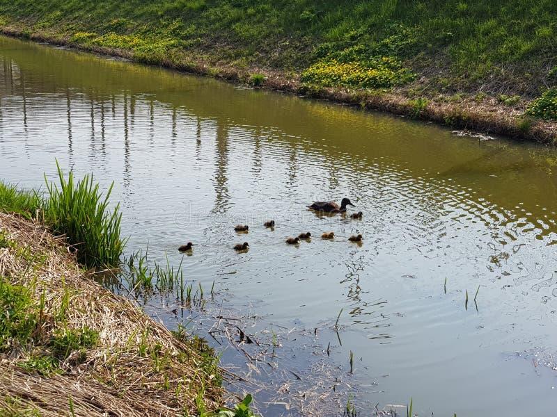 Natation de canard de mère avec des poussins de caneton de bébé image libre de droits