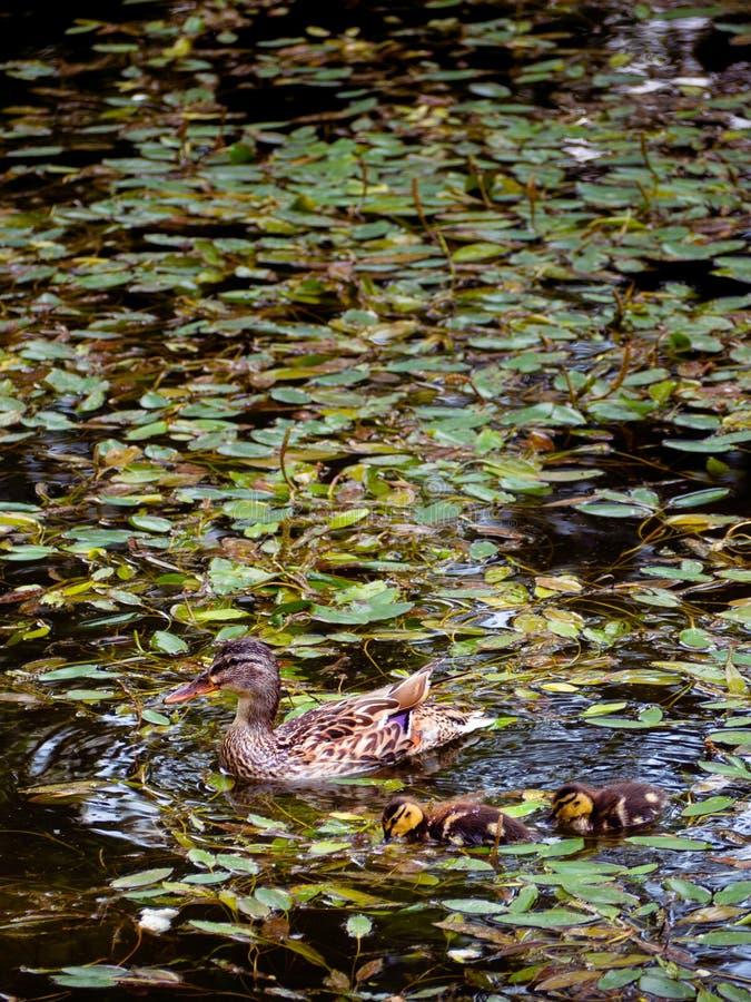 Natation de canard de mère avec ses deux jeunes photos stock
