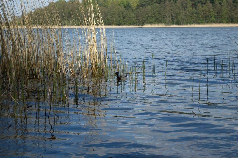 Natation de canard de Mallard dans le lac photographie stock