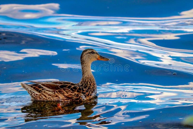 Natation de canard de Mallard dans les ondulations des vagues coulant à travers le lac Harriet photos stock