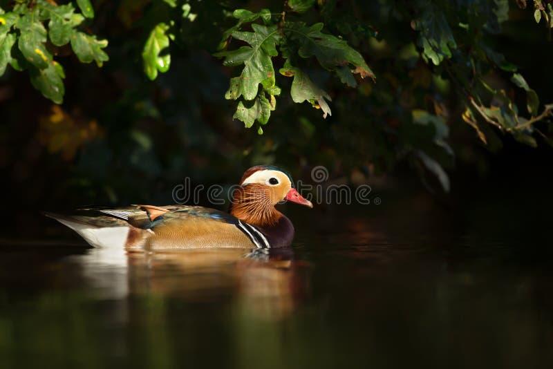 Natation de canard de mandarine dans l'étang image stock