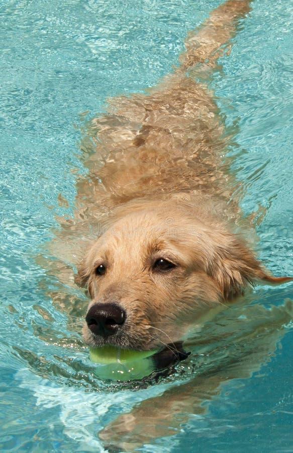 Natation de chien d'arrêt d'or photographie stock libre de droits