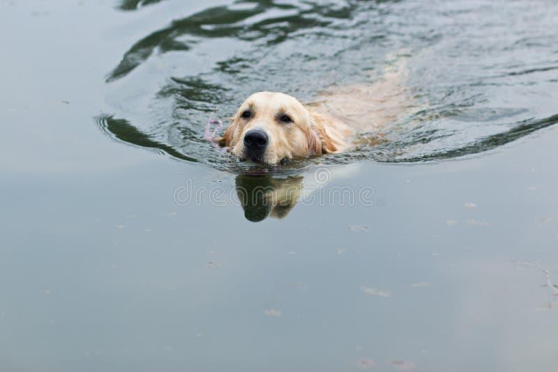 Natation de chien d'arrêt d'or images stock