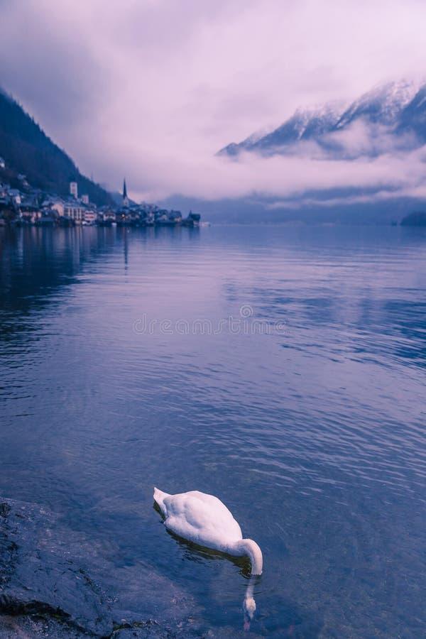 Natation de cygne dans le lac Hallstatt en Autriche sur un brumeux, jour d'hiver photo libre de droits