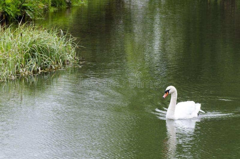 Natation de cygne dans un lac photos stock